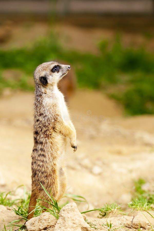 Meerkat standing stock photo