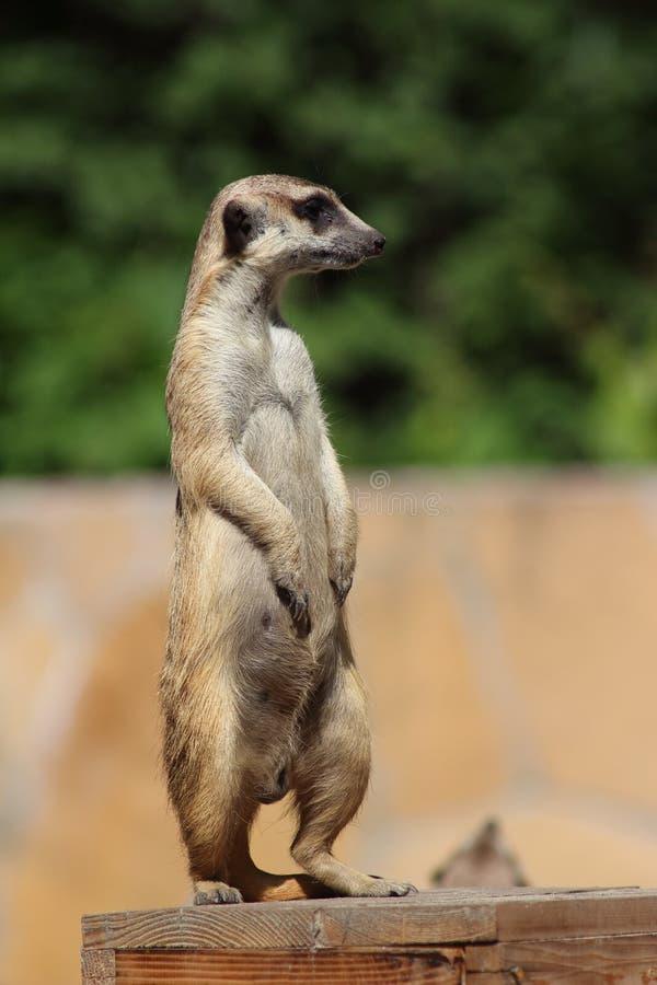 Meerkat royalty free stock photography