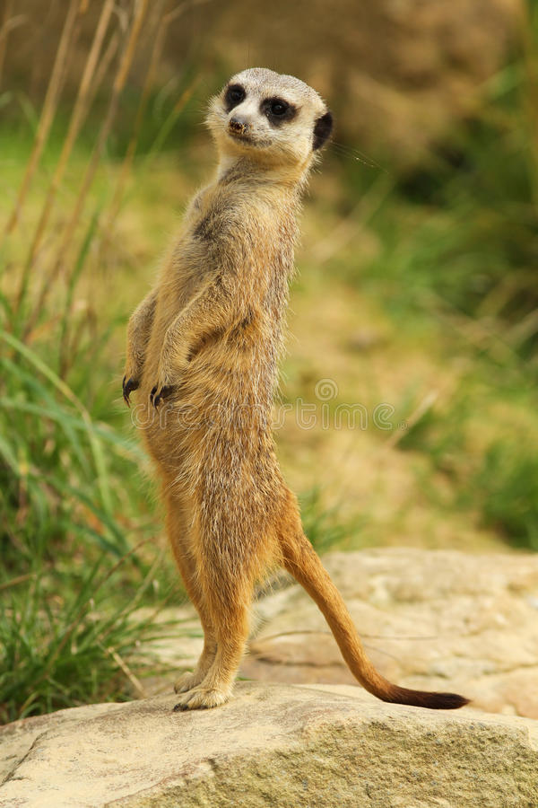 Meerkat standing upright. Animals: Meerkat standing upright and looking to the left royalty free stock photos
