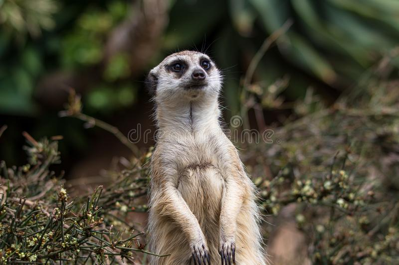 Meerkat standing upright and investigating in the bush, shallow depth of field stock images