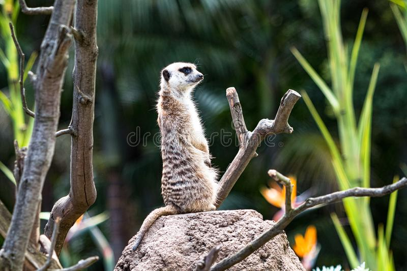 Meerkat standing upright and investigating in the bush, shallow depth of field royalty free stock photos