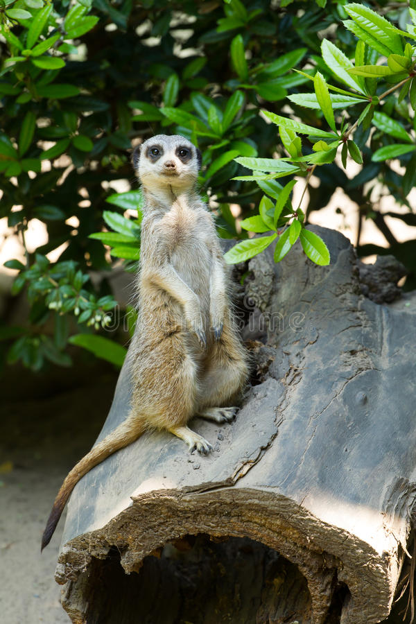 Download Meerkat standing upright stock photo. Image of face, adapted - 31612854