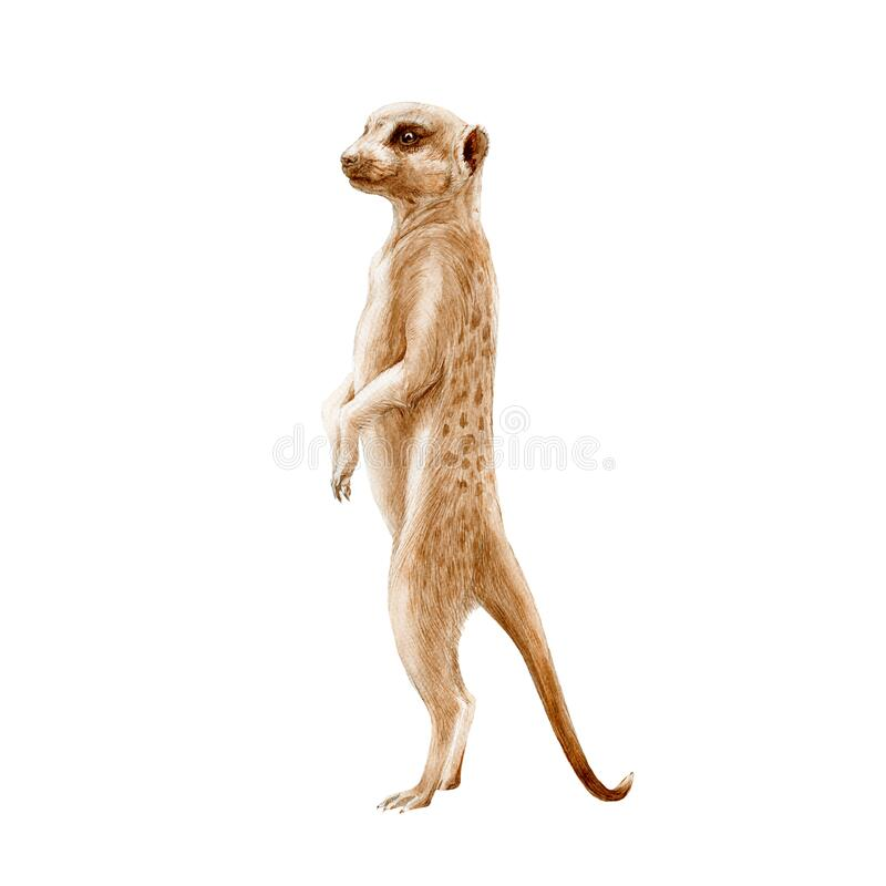 Free Meerkat Standing Watercolor Painted Illustration. Hand Drawn Africa Single Mongoose Animal. African Suricata Standing In Observati Stock Image - 173197311