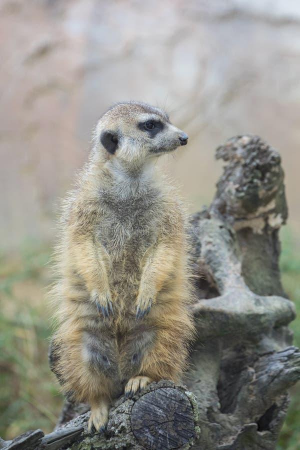 Meerkat standingguard royaltyfria foton