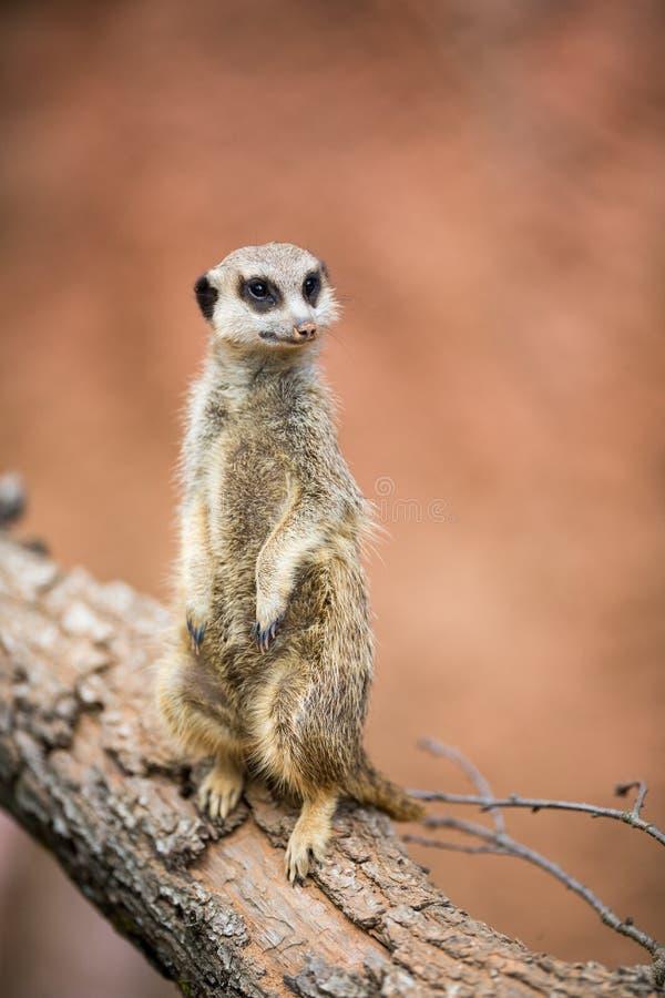 Meerkat standingguard royaltyfri fotografi