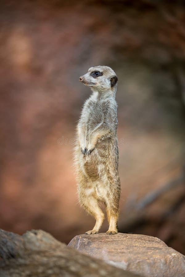 Meerkat standingguard fotografering för bildbyråer