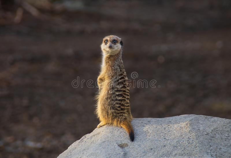 Meerkat stood on rock. Single meerkat stood on rock looking at camera stock photo