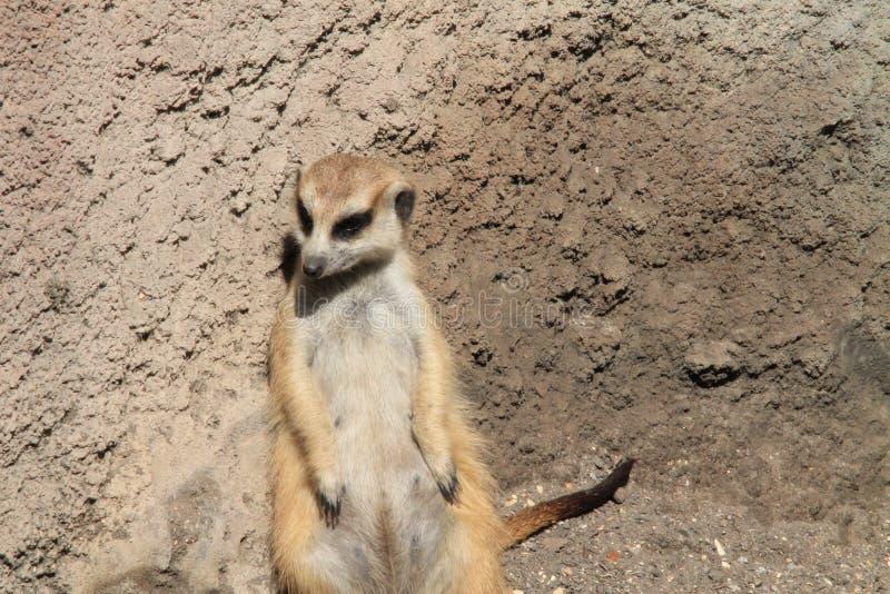 Meerkat stooping looking around. Meerkat or suricate Suricata suricatta, native to all parts of the Kalahari Desert in Botswana, much of the Namib Desert in royalty free stock images