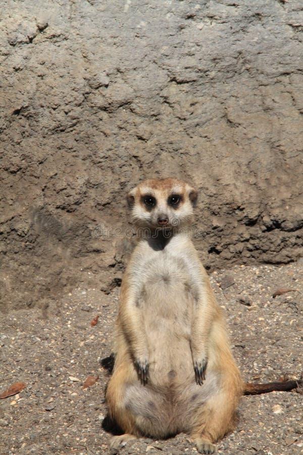 Meerkat stooping looking into the camera. Meerkat or suricate Suricata suricatta, native to all parts of the Kalahari Desert in Botswana, much of the Namib royalty free stock photos