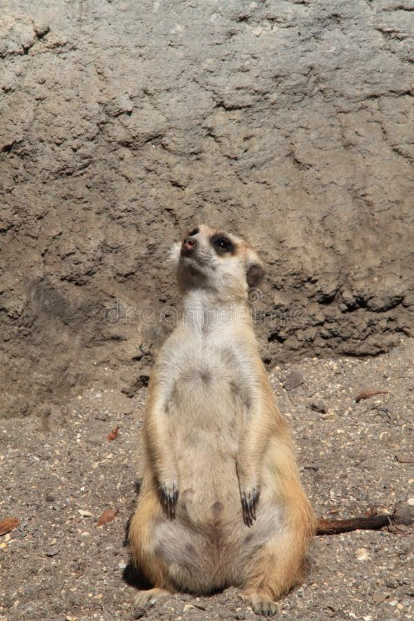Meerkat stooping looking out for predators. Meerkat or suricate Suricata suricatta, native to all parts of the Kalahari Desert in Botswana, much of the Namib royalty free stock photo
