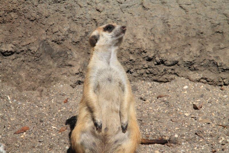 Meerkat stooping looking out for predators. Meerkat or suricate Suricata suricatta, native to all parts of the Kalahari Desert in Botswana, much of the Namib royalty free stock images