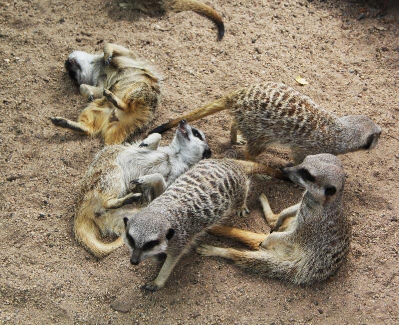 Meerkat stos III obraz royalty free