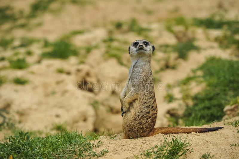 Meerkat sur la montre dans la savane images libres de droits