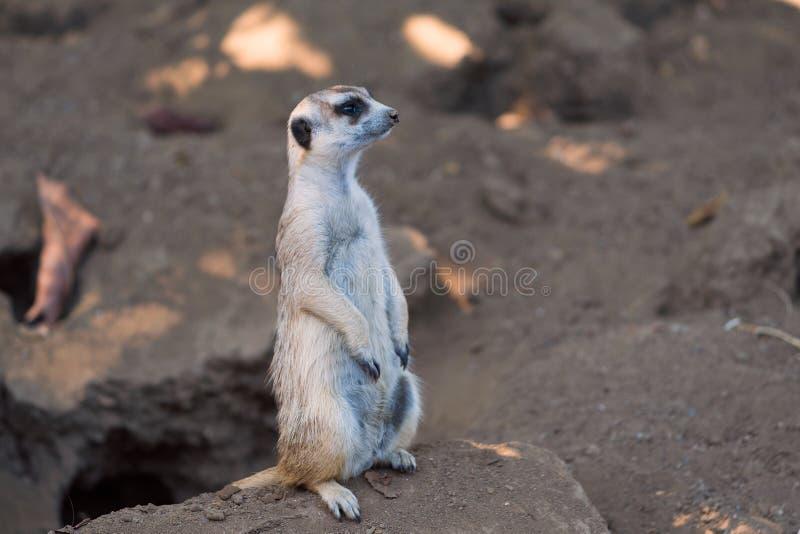 Meerkat-Suricata steht nahe seiner Höhle am San Diego-Zoo in Kalifornien stockfoto