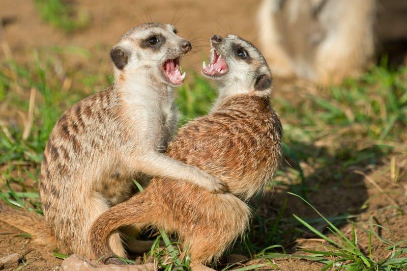 Meerkat - (suricata Suricata) stock afbeelding