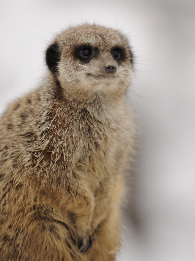 Meerkat suricata suricatta immagini stock libere da for Piccolo cottage che vive