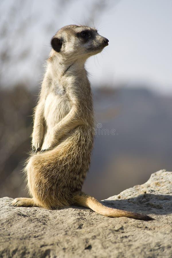 Meerkat (Suricata suricatta) lizenzfreies stockbild