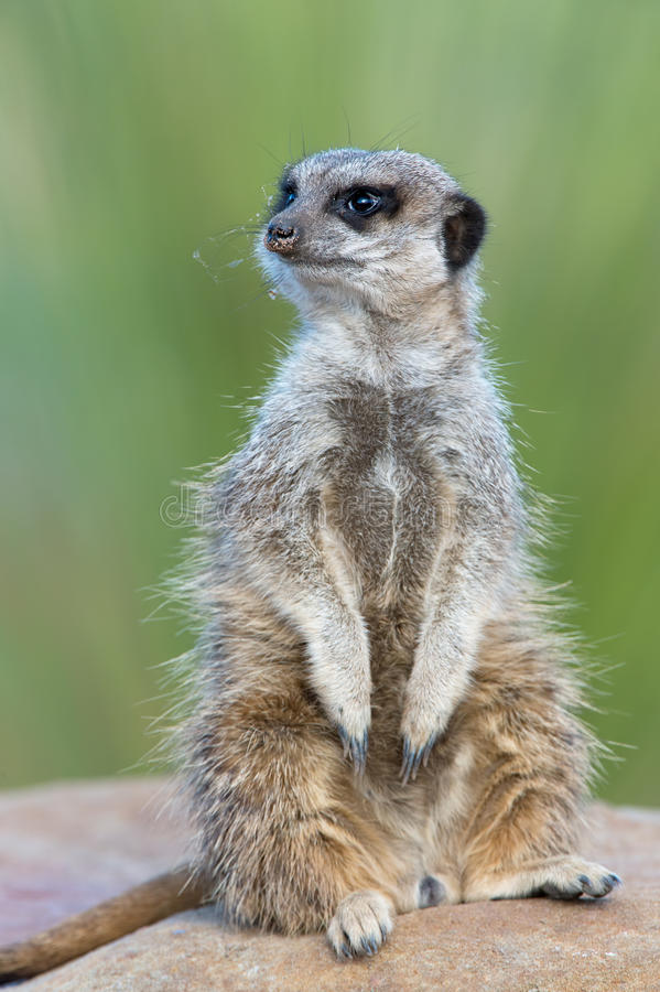 Meerkat (Suricata suricatta) lizenzfreie stockfotografie