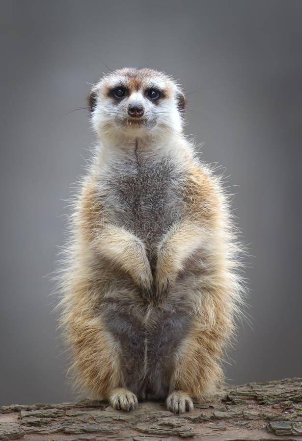 Meerkat suricata suricatta on guard stock photography