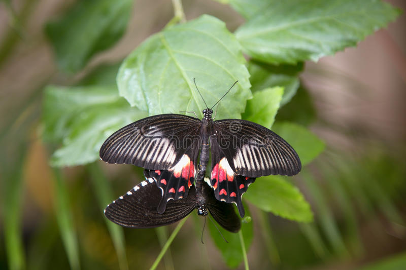 Two Black butterflies on a green leaf royalty free stock photo