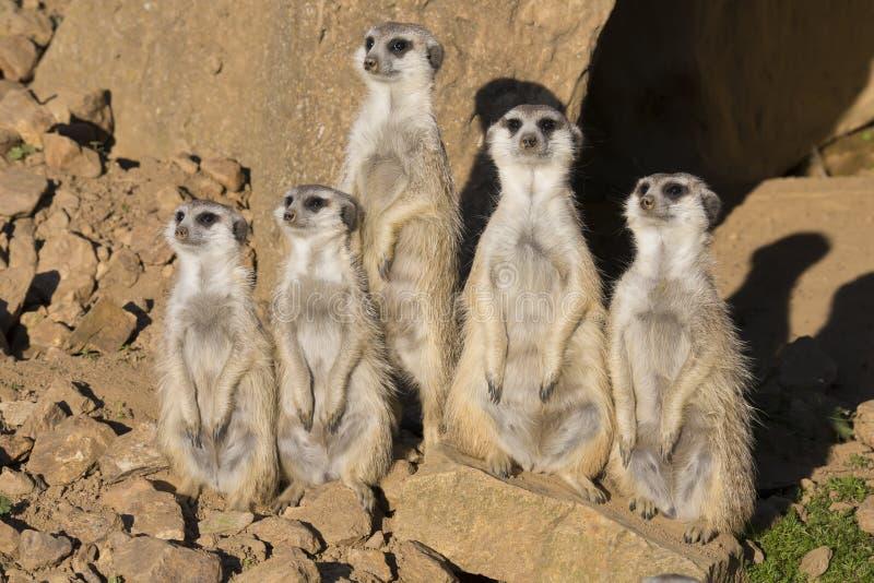 Meerkat, Suricata suricatta, observing surroundings. The Meerkat, Suricata suricatta, observing surroundings stock images
