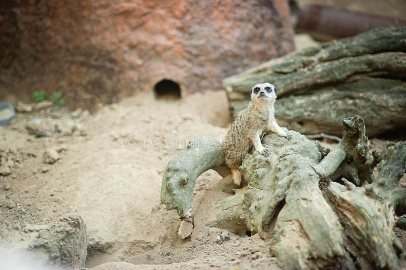 Meerkat - Suricata suricatta on stone guards his territory. stock photo