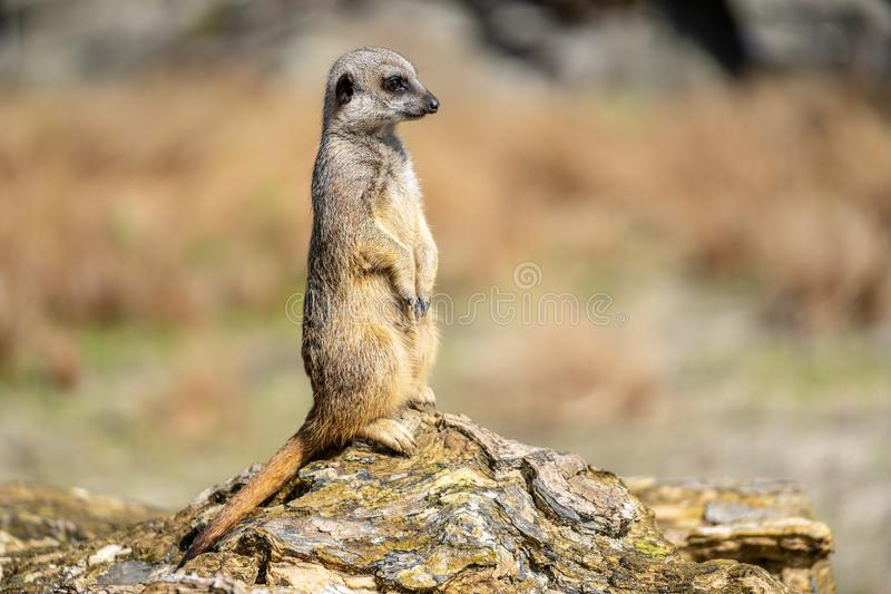 The meerkat, Suricata suricatta or suricate is a small carnivoran in the mongoose family. It is the only member of the genus. Suricata royalty free stock images