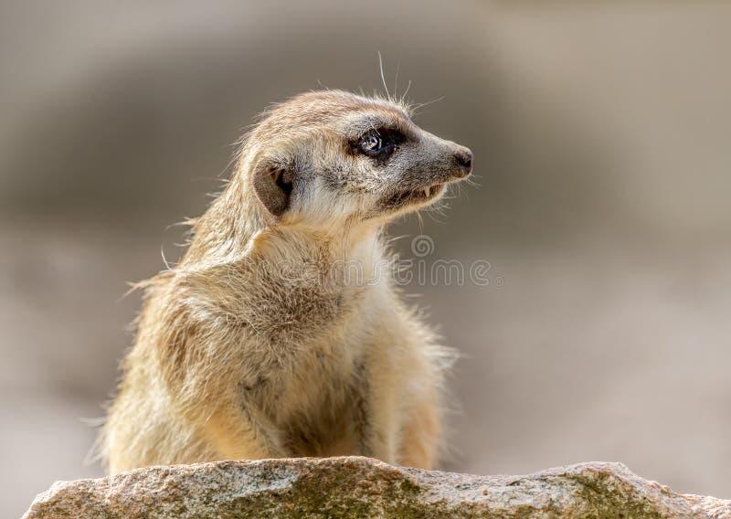 Meerkat-Suricata suricatta vom Profil stockfotos