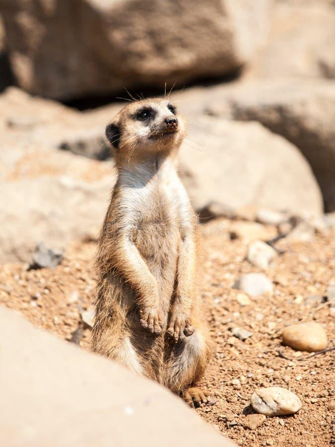Meerkat, Suricata suricatta, wachsam auf Schutz auf felsigem und trockenem Boden, Südafrika stockfoto