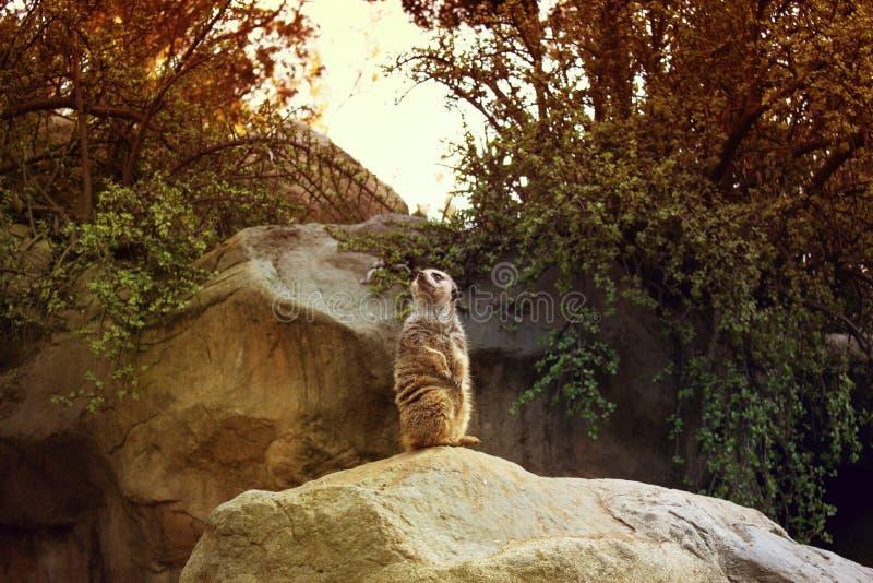 Meerkat Suricatasuricatta, också som är bekant som suricaten Meerkat royaltyfria foton