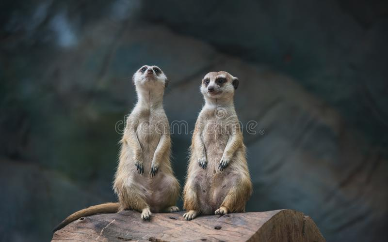 2 Meerkat, Suricate в зоопарке стоковое изображение