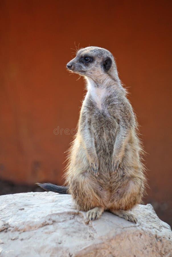 meerkat suricate obraz royalty free