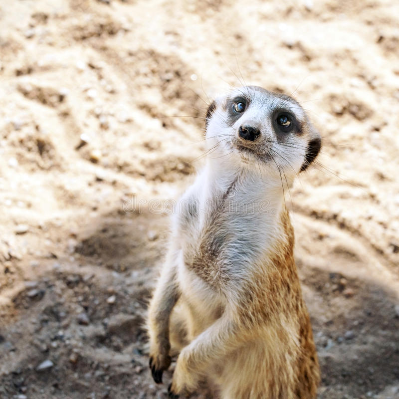 Download A Meerkat or suricate stock photo. Image of brown, conservation - 25978394