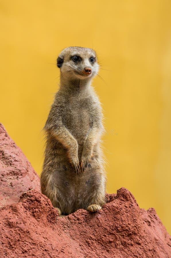 Free Meerkat / Suricate Royalty Free Stock Photo - 30715815