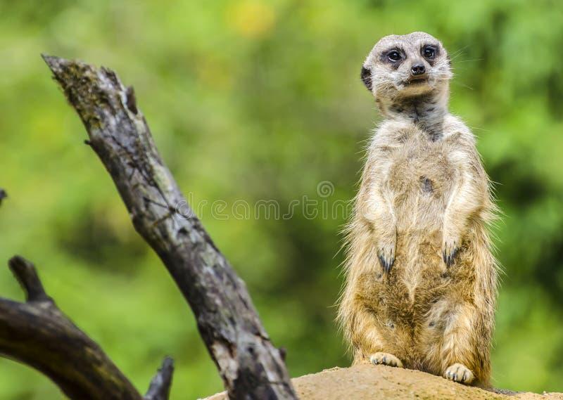 Meerkat (Suricate) stock afbeeldingen