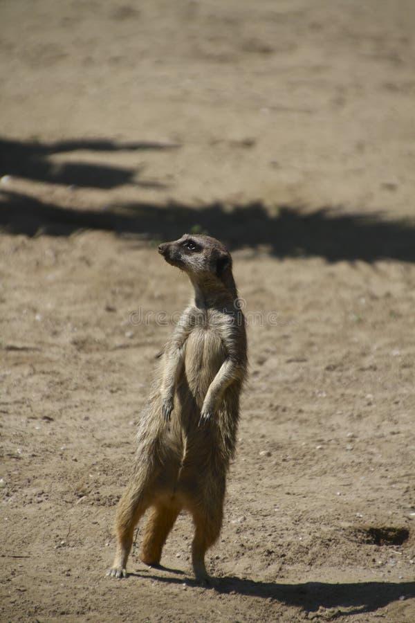 Meerkat of suricate royalty-vrije stock afbeeldingen