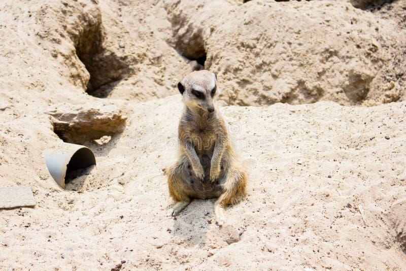 Meerkat-suricate allo zoo di Lille immagini stock libere da diritti