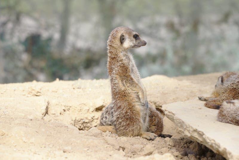 Meerkat of suricate bevindend horloge stock afbeeldingen