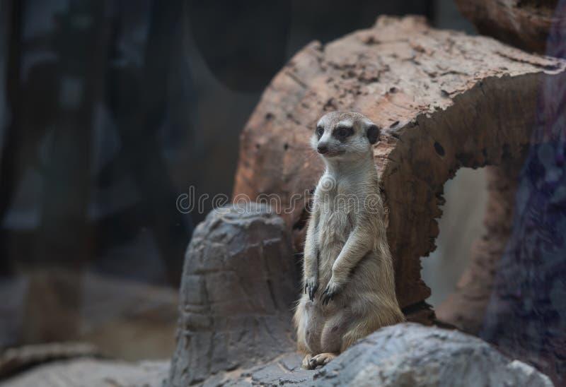 Meerkat, Suricate in de dierentuin stock foto