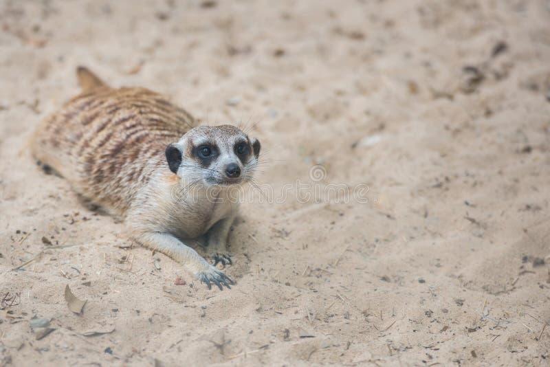 Meerkat, Suricate in de dierentuin stock afbeelding