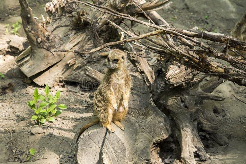 Meerkat of suricate is een kleine carnivoran behorend tot de mongoesfamilie royalty-vrije stock afbeeldingen