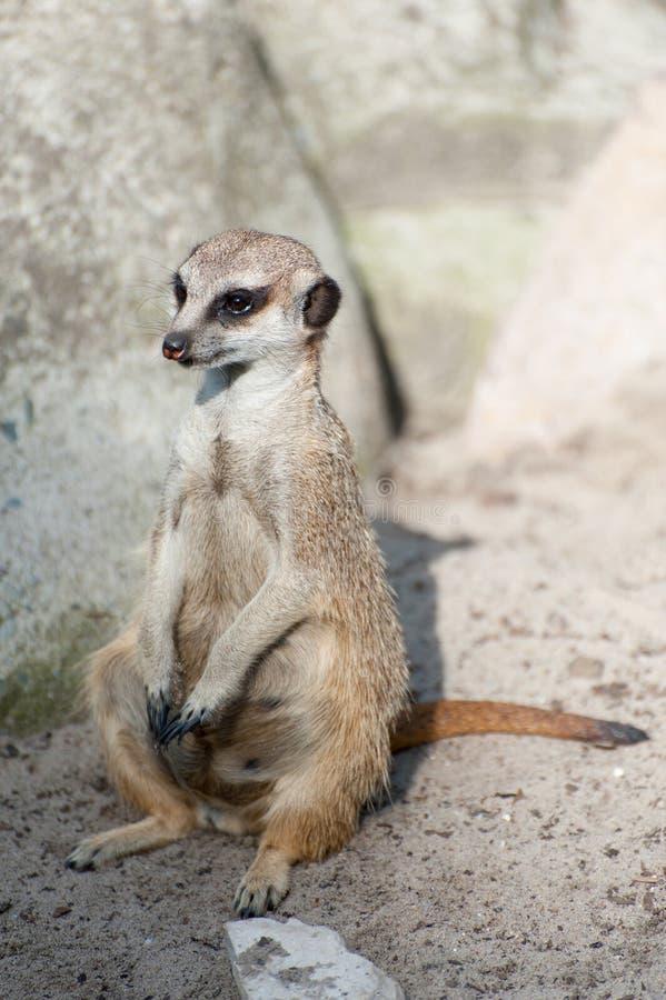 Meerkat suricate eller Suricatasuricatta Liten carnivoran som tillhör mungorfamiljen - Herpestidae Afrikanskt infött gulligt royaltyfria foton