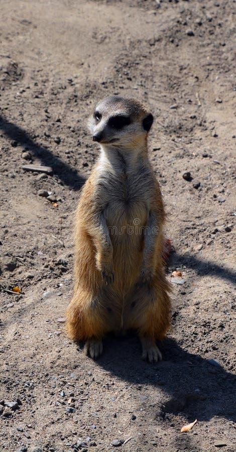 The meerkat or suricate i. S a small carnivoran belonging to the mongoose family live in Kalahari Desert in Botswana, the Namib Desert, Namibia and southwestern stock photography
