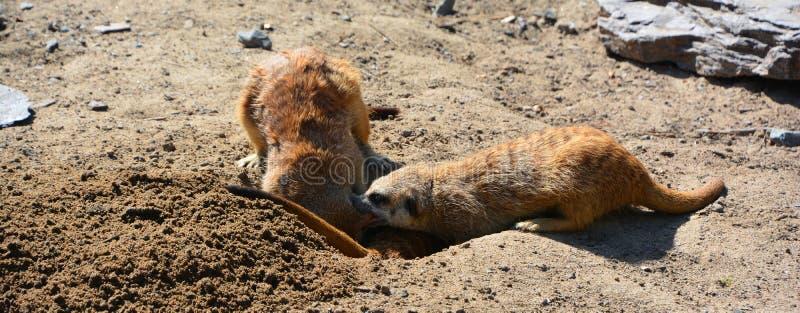 The meerkat or suricate i. S a small carnivoran belonging to the mongoose family live in Kalahari Desert in Botswana, the Namib Desert, Namibia and southwestern stock images