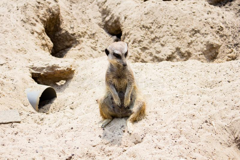 Meerkat- suricate at Lille zoo royalty free stock images