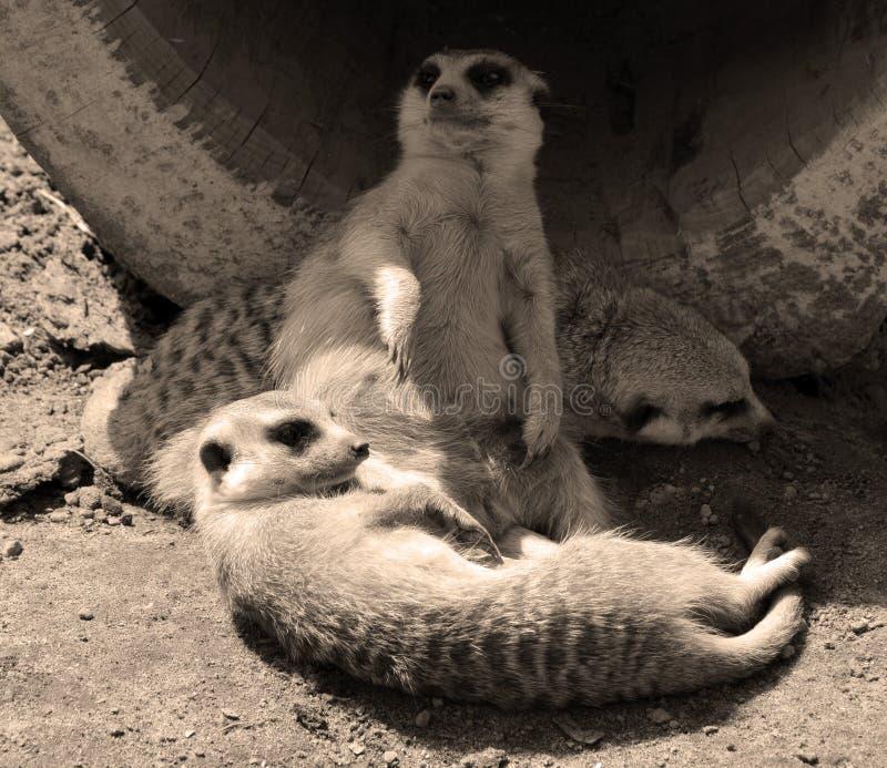 The meerkat or suricate. Is a small carnivoran belonging to the mongoose family live in Kalahari Desert in Botswana, the Namib Desert, Namibia and southwestern royalty free stock images