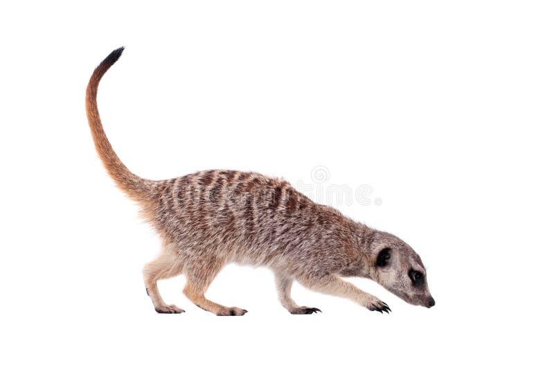 Meerkat of suricate op wit stock foto's