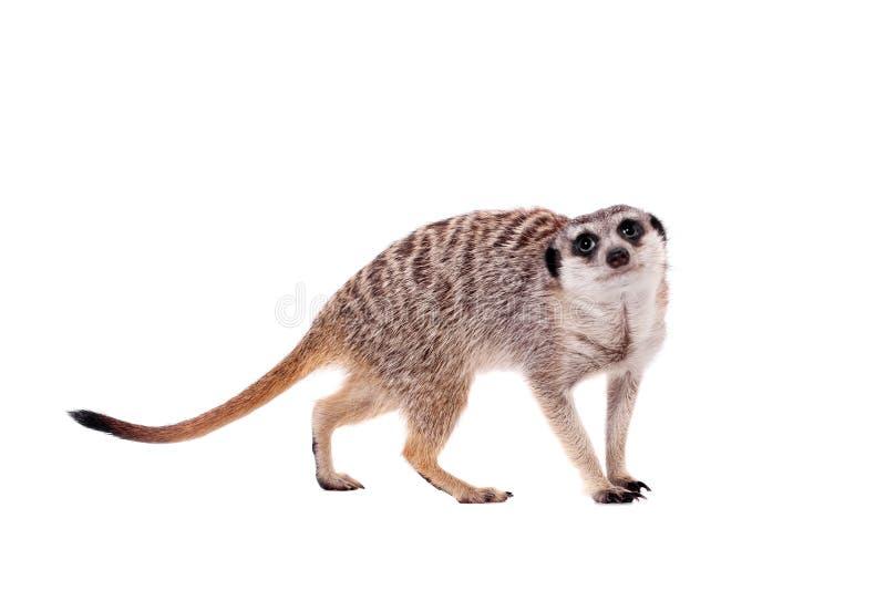 Meerkat of suricate op wit royalty-vrije stock foto's