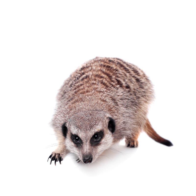 Meerkat of suricate op wit stock fotografie
