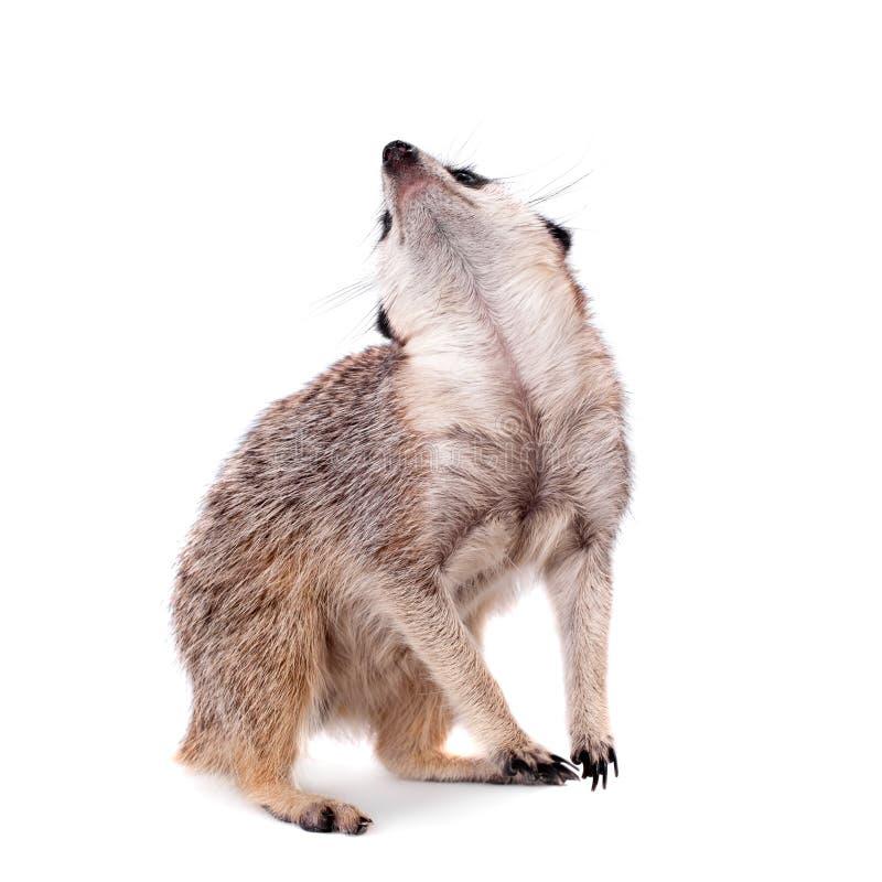 Meerkat of suricate op wit stock foto